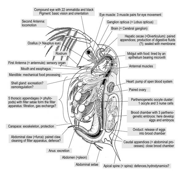 Daphnia anatomy a study of the heart daphnia anatomy ccuart Images